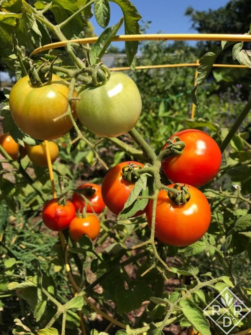 Red Racer tomato produces a lot of fruit on a very small plant. It does get some disease, but it hasn't overwhelmed the plant yet.